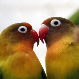 A close up photo of two colourful birds facing each other and touching their beaks.