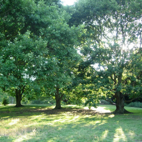 A field with three very large trees growing in the middle, the sun is shining through the branches of the trees.