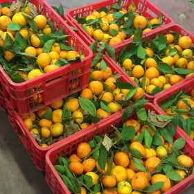 A picture of several red crates filled with oranges, with the stems and green leaves still attached.