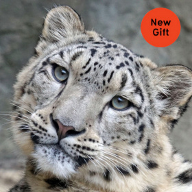 A close up headshot of a white tiger, in the top right hand corner there is a red circle with the words 'New Gift'.