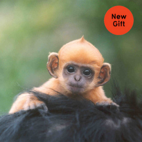 A close up shot of an orange baby monkey, clinging on to the black hair of another monkey, in the top right hand corner there is a red circle with the words 'New Gift' in it.