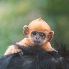 A close up shot of an orange baby monkey, clinging on to the black hair of another monkey.