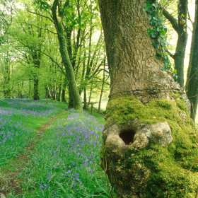 A picture of a large moss and ivy covered oak tree trunk. In the background you can see more trees and the ground is covered in green grass and dotted with bluebells.