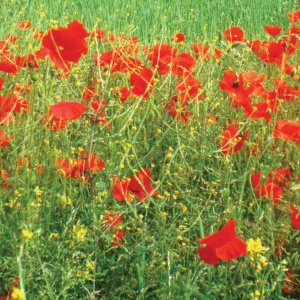 A close up picture of dense grass with lots of poppies growing and some small yellow flowers.