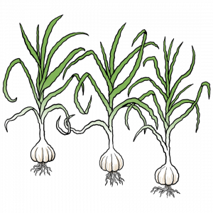 A cartoon drawing of three garlic  bulbs with roots coming out of the bottom and long green stems coming out of the top.