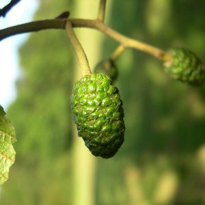 A close up photo of a green bud growing on a tree.