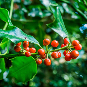 A close up shot of a tree branch with bright red berries on it