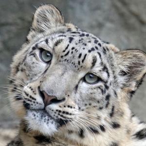 A close up headshot of a snow leopard.