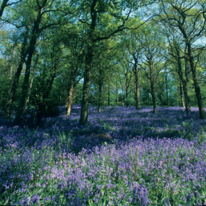 A picture of a wood with tall trees and the floor is coved in purple bluebells.