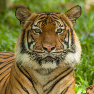 A close up picture of a tiger, who is lying down.
