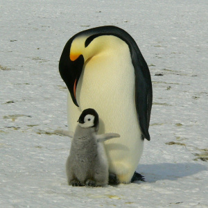A picture of a King Emperor penguin bending its face down towards its small grey baby, which is sat in front of it with its flippers out.