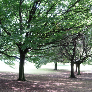 A picture of several trees, with large branches and lots of leave, spread out in a field.