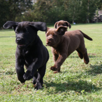 A picture of 3 young Labrador puppies in a field running towards the camera, the puppy in the front is black and the two behind are brown.