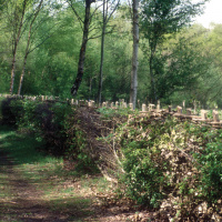 A picture of a hedgerow next to a path in a forest.